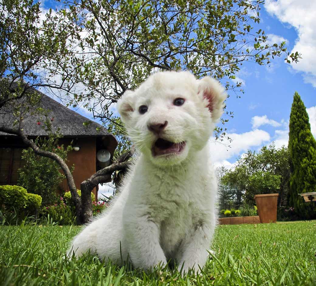 Cute Baby White Lion - photo#38