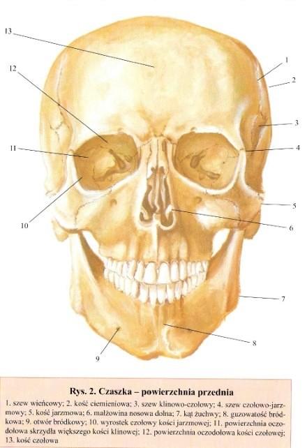 Sciaga Z Anatomii Kosci Glowy Czlowiek I Zdrowie