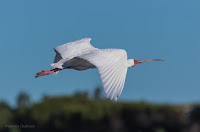 Spoonbill - Birds In Flight Photography Cape Town with Canon EOS 7D Mark II Copyright Vernon Chalmers