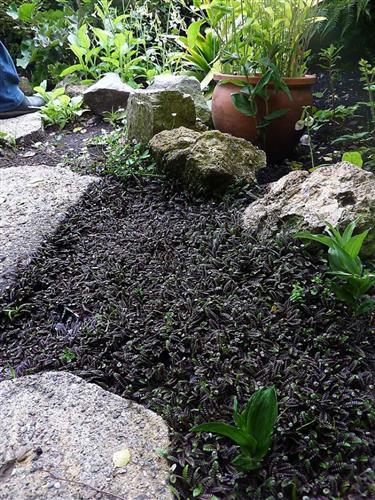 Svart tråkkbregne - Leptinella Cotula Platts Black