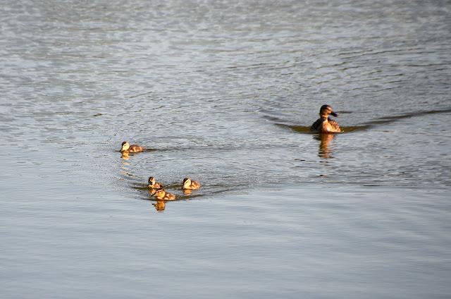Утки на Лысьвенском пруду