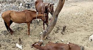 CABRAL: Denuncian cuatreros roban caballos para venderlos Jimaní-Haití