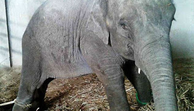 Anak gajah dirantai dan menangis