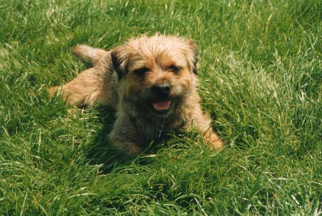 border terrier laying in the grass