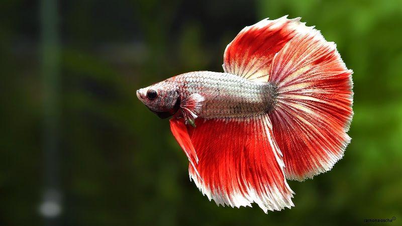 makanan ikan cupan