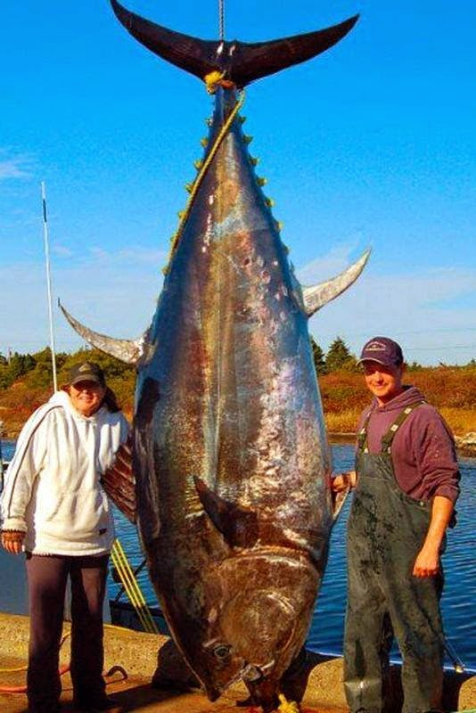 Big Fishes of the World: TUNA BLUEFIN page 2
