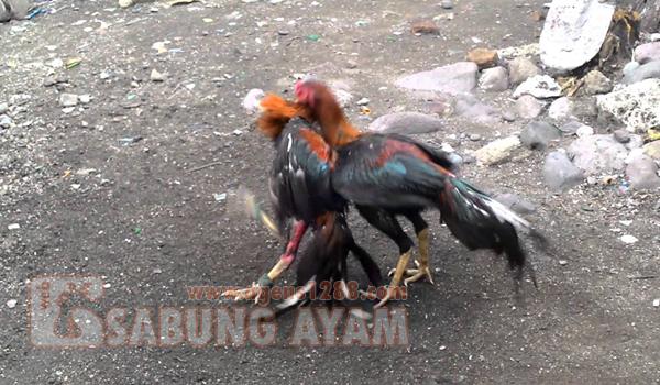 Pengertian Ayam Untulan dan Lancuran dalam Istilah Sabung Ayam di Indonesia