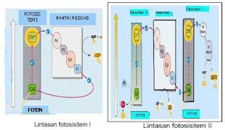 Reaksi Fotosintesis Terang dan Gelap