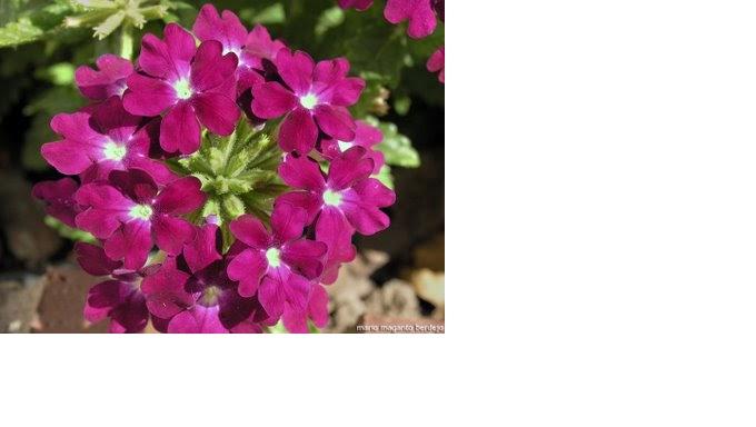 Plantas ornamentales plantas ornamentales for Concepto de plantas ornamentales