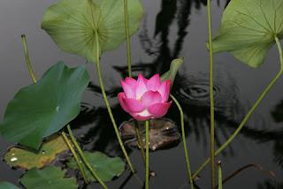 Suy ngẫm chuyện đời - Tiền bạc và Hạnh phúc Lotus%2Bfrom%2Bmud%2B1