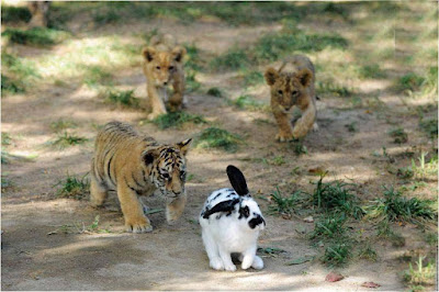 tiger-its-family-following-one-little-black-white-rabbit-images