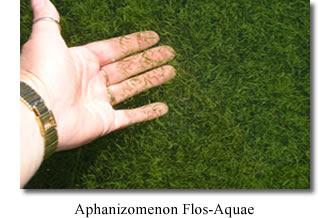 Aphanizomenon Flos Aquae (AFA) Nutrisi Lengkap Untuk Kesehatan Tubuh