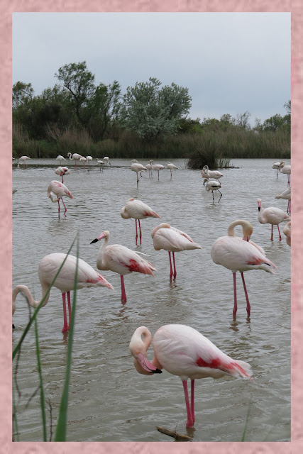 Wading Pink Flamingos in the Camargue, France