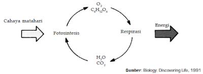 Fungsi Kloroplas, Cahaya Matahari dan Klorofil Dalam Proses Fotosintesis Pada Tumbuhan