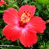 Cantiknya Bunga Raya Bunga Kebangsaan Malaysia