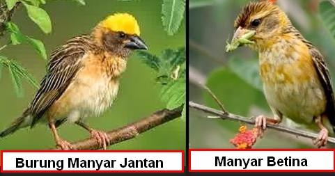 Burung manyar jantan dan manyar betina