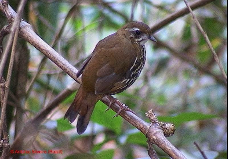 Rufous tailed Antthrush