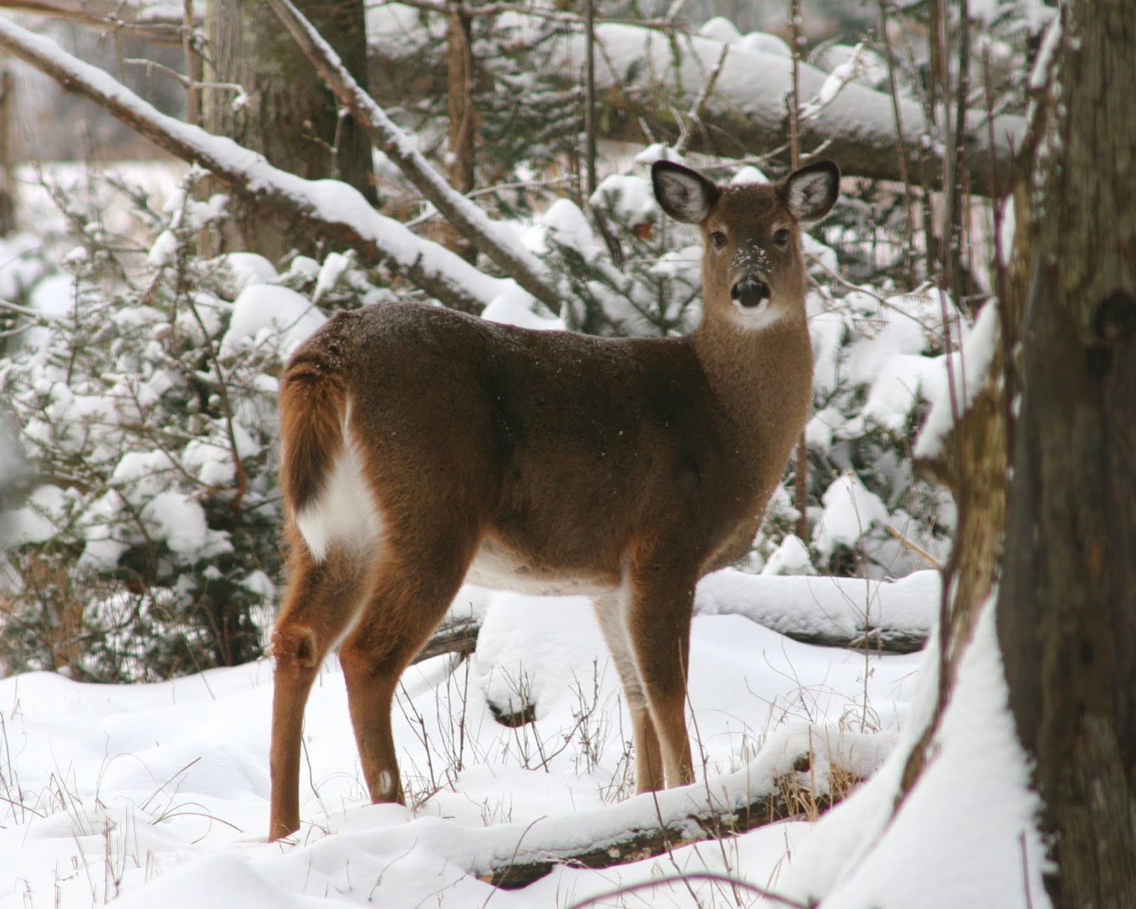 Vermont holds public hearings on moose and deer for Vermont fish and wildlife