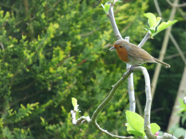 Robin in Apple tree