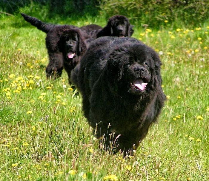 Dog Breed Directory Newfoundland Dog Breed