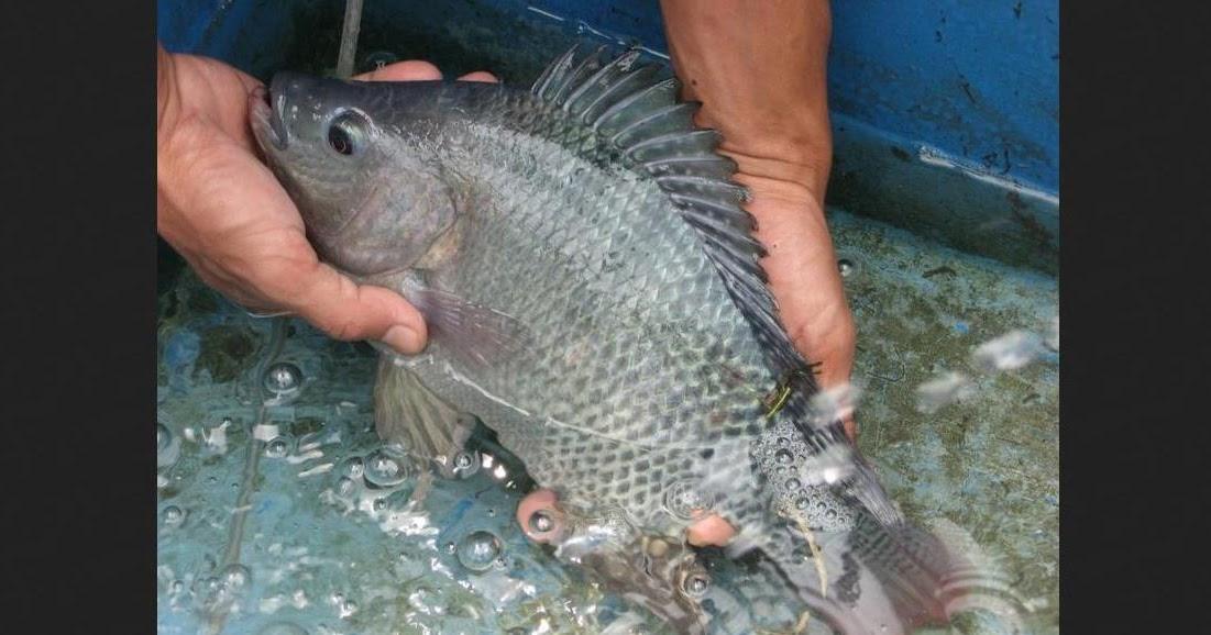 Ciri Ciri Ikan Nila Siap Pijah Cara Membedakan Ikan Nila Jantan Dan Betina Kagarut Com Booking Hotel Villa Murah Di Garut