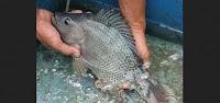Ciri Ciri Ikan Nila Siap Pijah+Cara Membedakan Ikan Nila Jantan Dan Betina