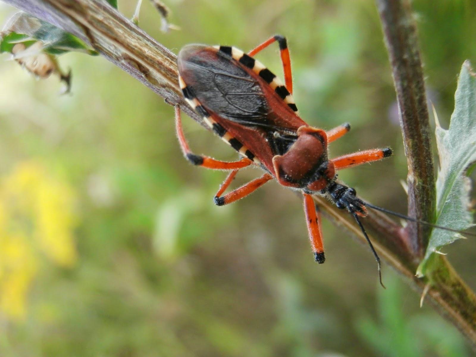 De natura: Gyilkos poloska (Rhynocoris iracundus)