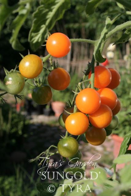 """""""tomato Sungella"""""""