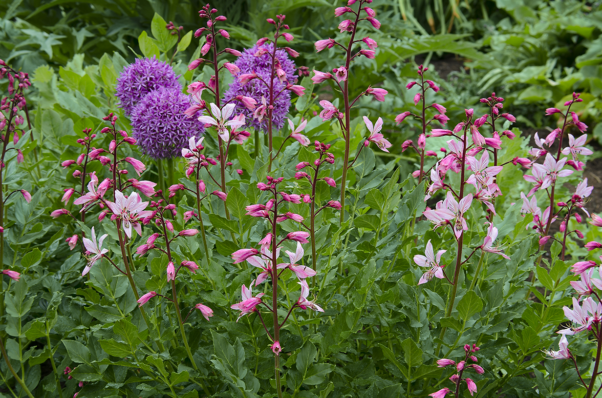 Linda Cochran's Garden: Dictamnus albus var. purpureus