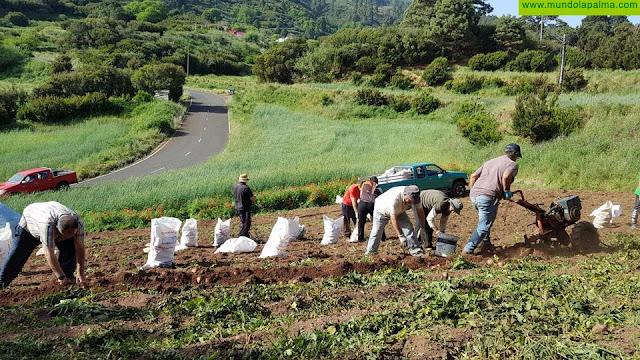 El Gobierno canario abona 3,3 millones a los productores de papa de mesa