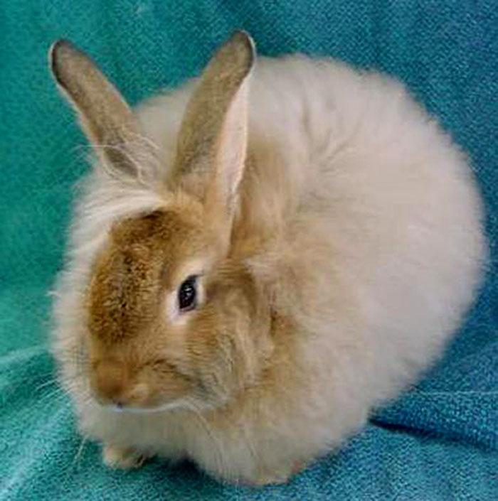 english angora rabbits - photo #23