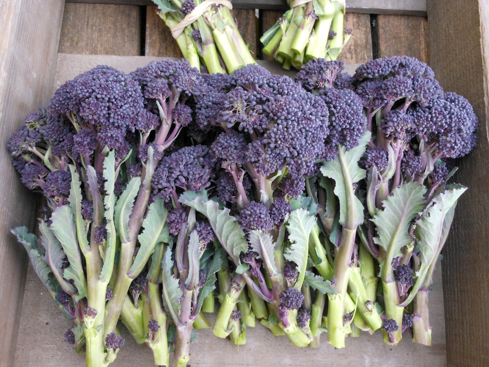 We Have Hybrid Purple Sprouting Broccoli Seed In Stock Two Varieties Were Stars Our Winter Trials And Been Able To Get Untreated For