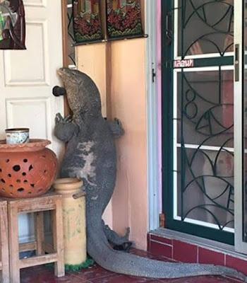 Heboh, Kadal Raksasa Ingin Dobrak Pintu Rumah
