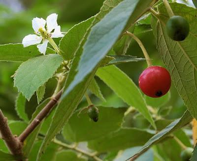 buah talok, buah kersen