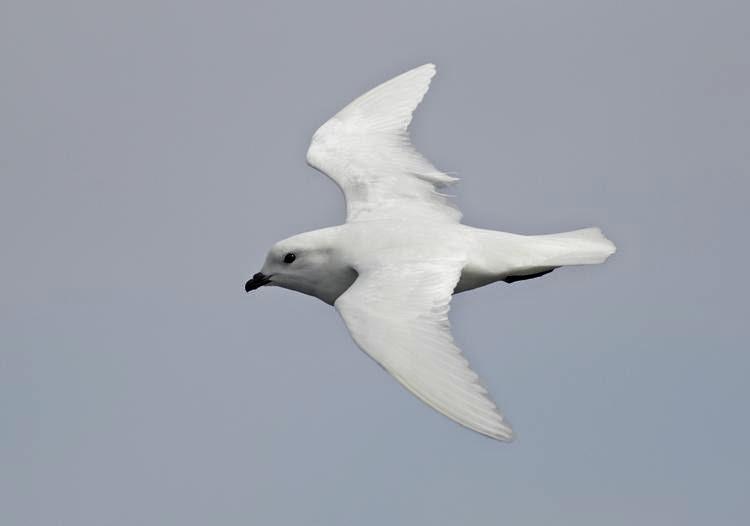 petrel blanco Pagodroma nivea