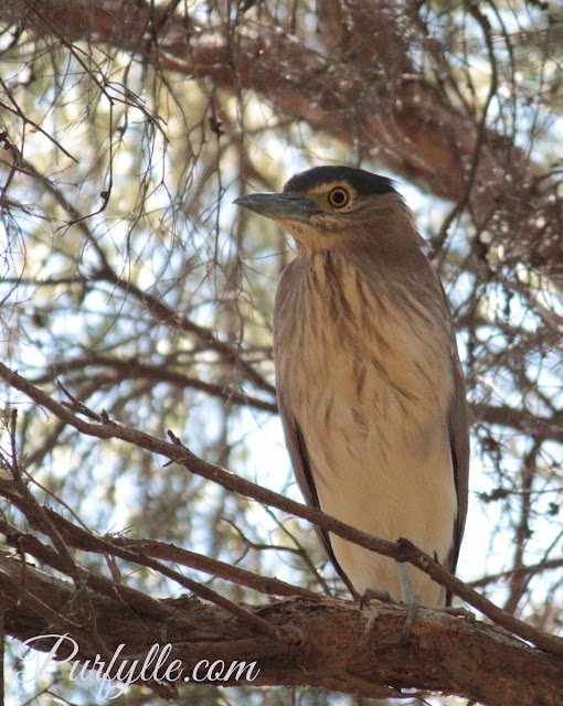 Juvenile Rufous Night Heron - Nankeen Night Heron
