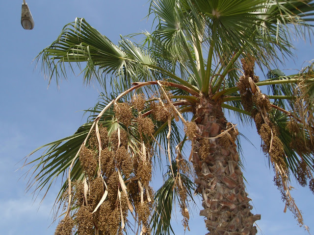 WASHINGTONIA: Washingtonia robusta