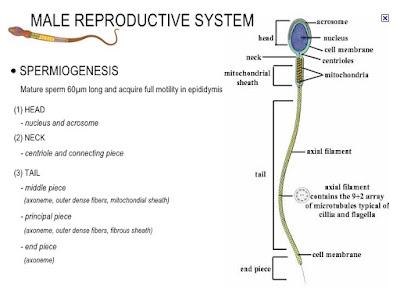 Struktur Spermatozoa Normal