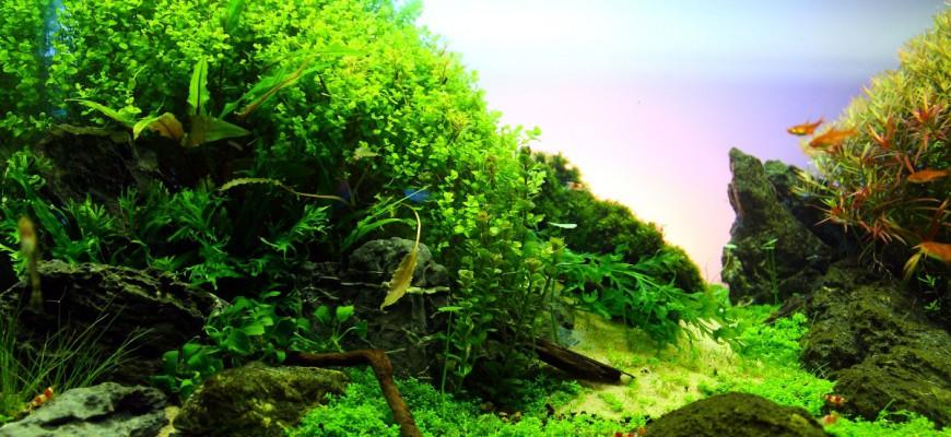 Cây thủy sinh trân châu cao lá tròn ở vị trí hậu cảnh, bên trái hồ thủy sinh này