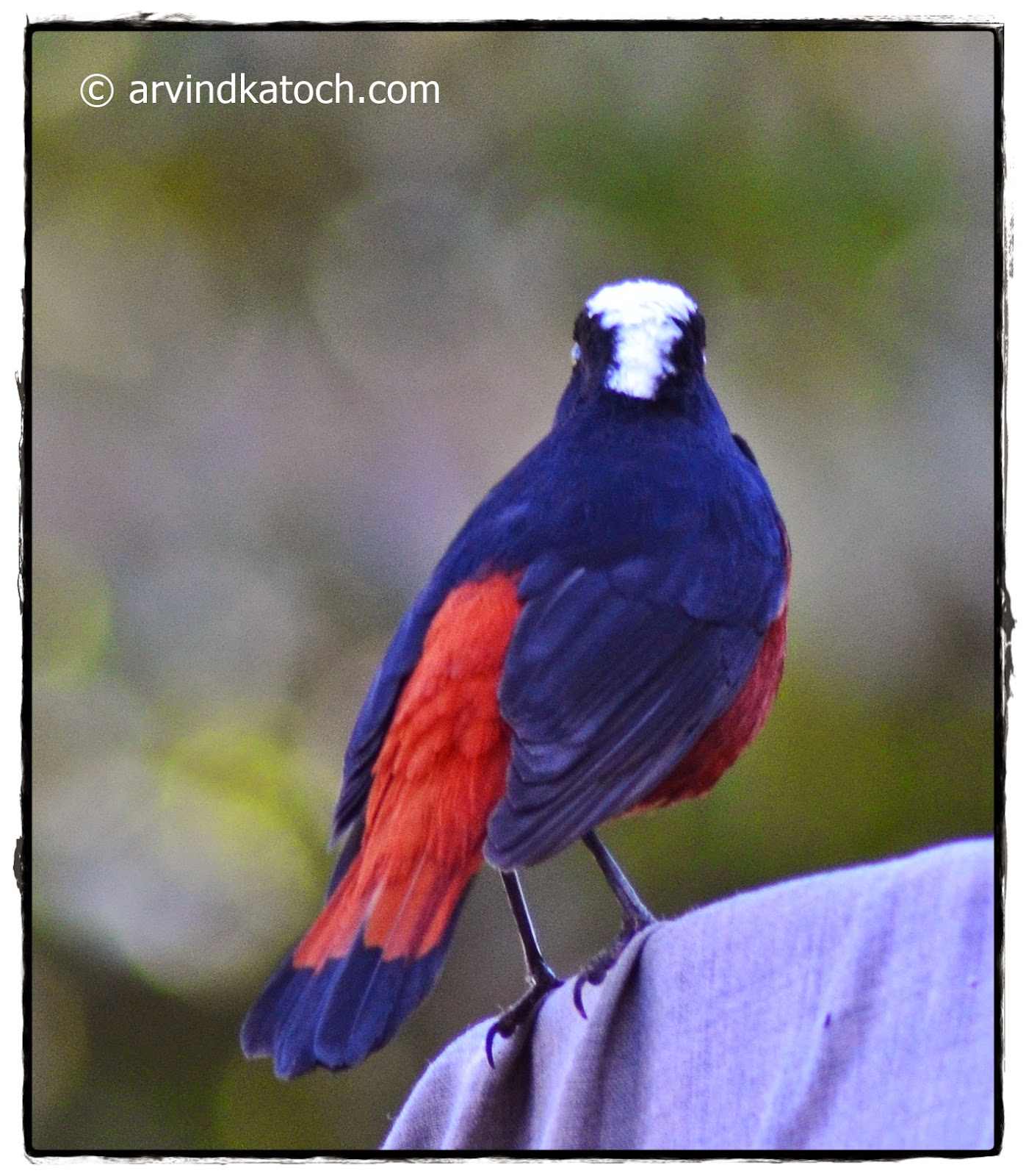 White-capped, Redstart, Back,