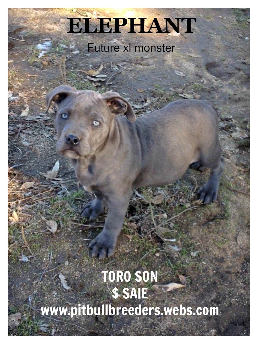 Pitbulls: Xl blue bully pitbull puppies for sale- american