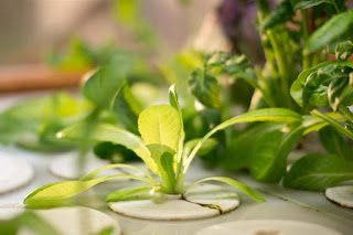 Vegetables Hydroponics Mustard