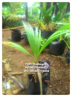 Kami tukang Taman minimalis menjual bibit pohon palm Washington dengan harga paling murah