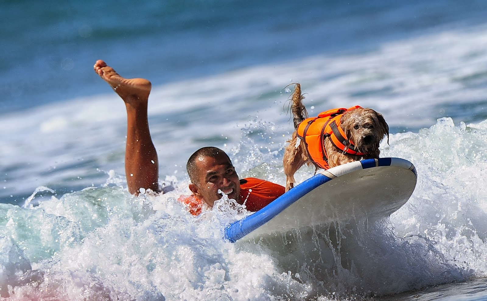 Animal, Annual Surf Dog Competition, Beach, California, Dog, Dogs, Huntington, Offbeat, Surf, Surfing, US,
