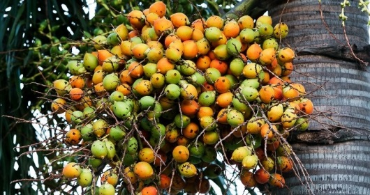 Effects of areca nut (Betel Nut) to Increase Male Virility