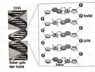 DNA (Deoxyribonucteic Acid)