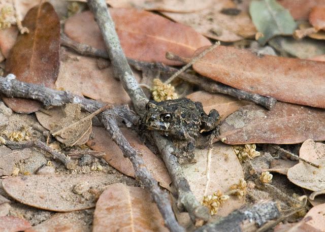 California Toad