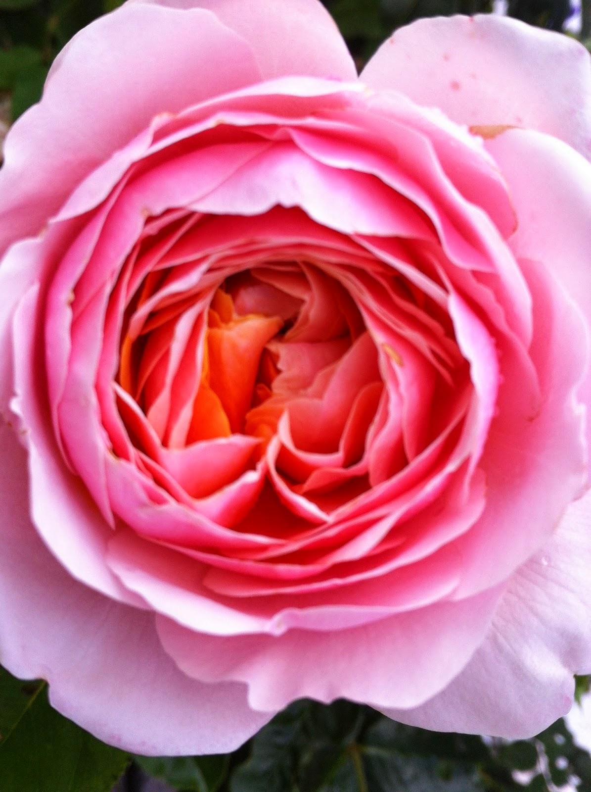 le jardin de v rone new rosier parfum d 39 orl ans. Black Bedroom Furniture Sets. Home Design Ideas