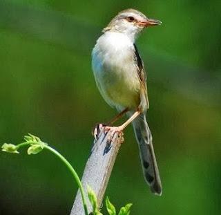 6 Ciri Ciri Burung Ciblek Sawah Jantan ( Pari ) Paling Akurat