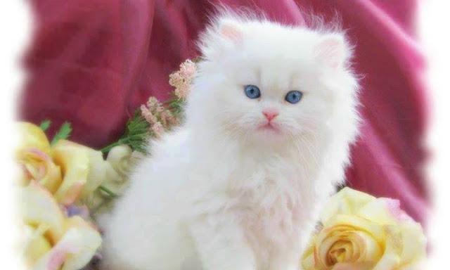 Beautiful White cats